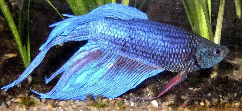 Community artikel der siamesische kampffisch betta for Kampffische arten