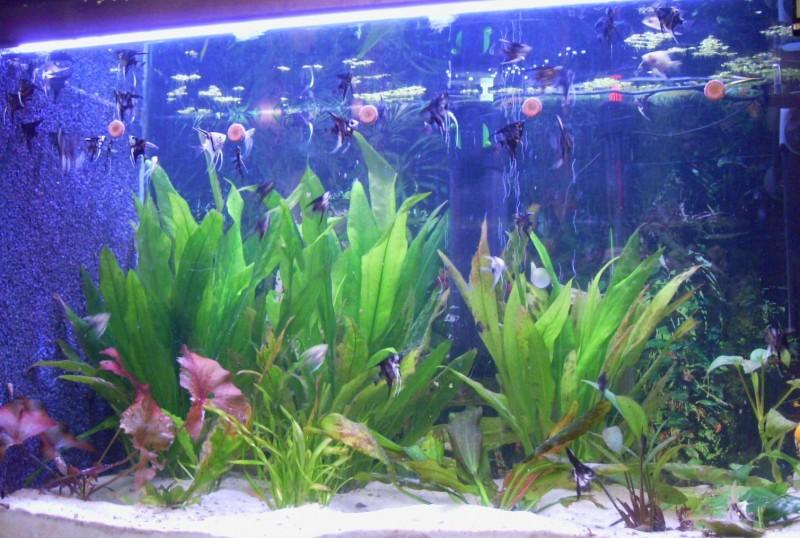 Community artikel vom ei zum skalar bild text for Skalar aquarium