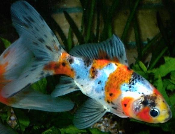 Fische shubunkin carassius auratus var shubunkin for Peces de agua fria koi
