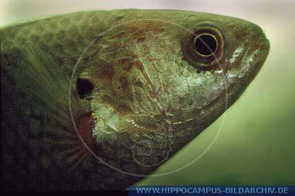 Fische kletterfisch anabas testudineus for Robuste zierfische