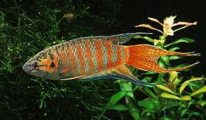 Fische paradiesfisch macropodus opercularis for Fadenfische zucht