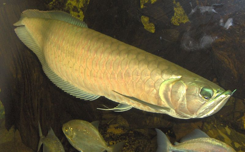 Fische arowana gabelbart osteoglossum bicirrhosum for Amazon fish tanks for sale