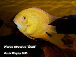 Fische augenfleckbuntbarsch heros severus for Fische arten