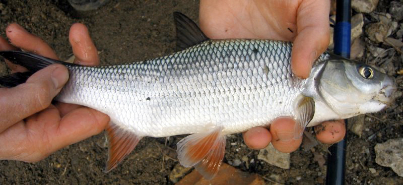Fische orfe aland leuciscus idus for Goldorfe fisch
