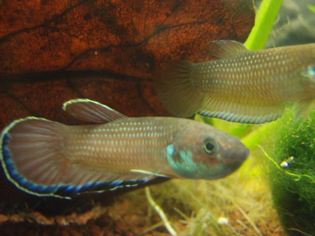Fische einfacher kampffisch betta simplex for Kampffische arten