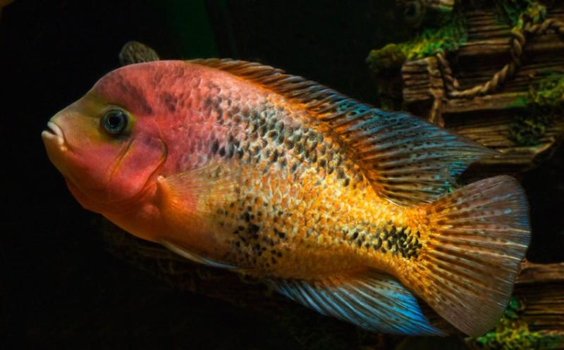 Fische Quetzalbuntbarsch Feuerkopfbuntbarsch Vieja Synspila