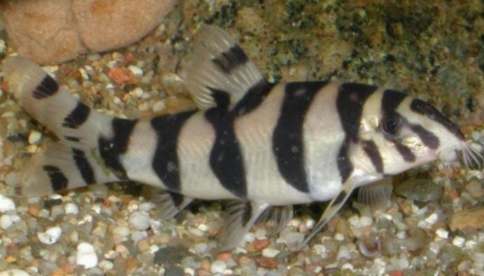 Burmese Zebra Loach Images & Pictures - Becuo