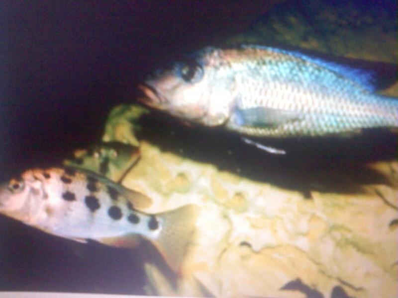 Fische sandtaucher fossorochromis rostratus for Fische halten