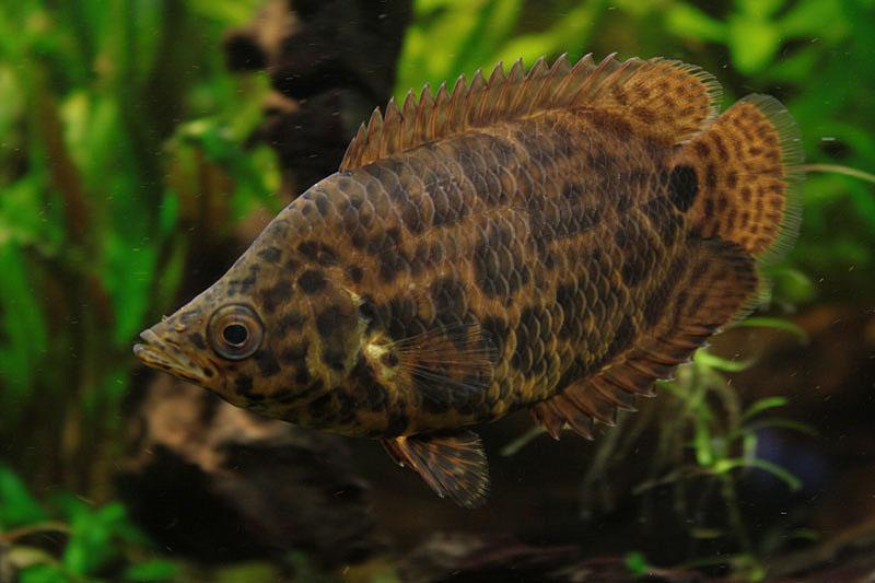 Fische leopard buschfisch ctenopoma acutirostre for Fadenfische zucht