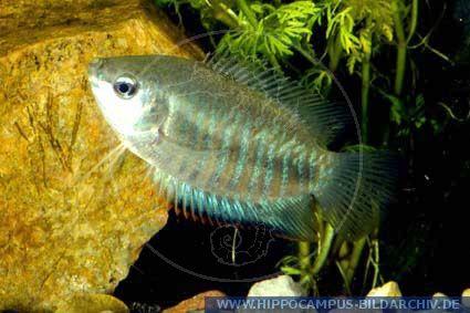 Fische gestreifter fadenfisch colisa fasciata for Fadenfische zucht