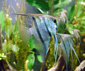 Fische skalar segelflosser pterophyllum scalare for Skalar aquarium