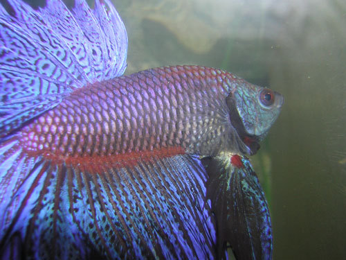 Fische siamesischer kampffisch betta splendens for Siamesischer kampffisch