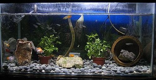 Community mein aquarium for Aquarium goldfische