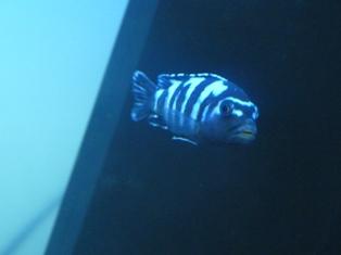 Malawi tanganjikabecken hinzugefügt 08 01 11 18 52 mein aquarium