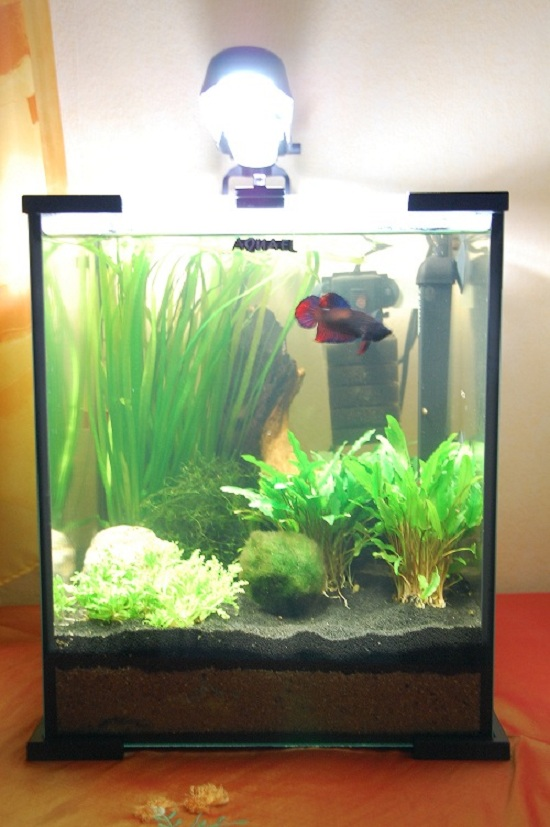 Community mein aquarium for Kampffisch zucht