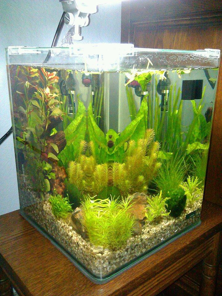 Community mein aquarium for Kampffisch futter