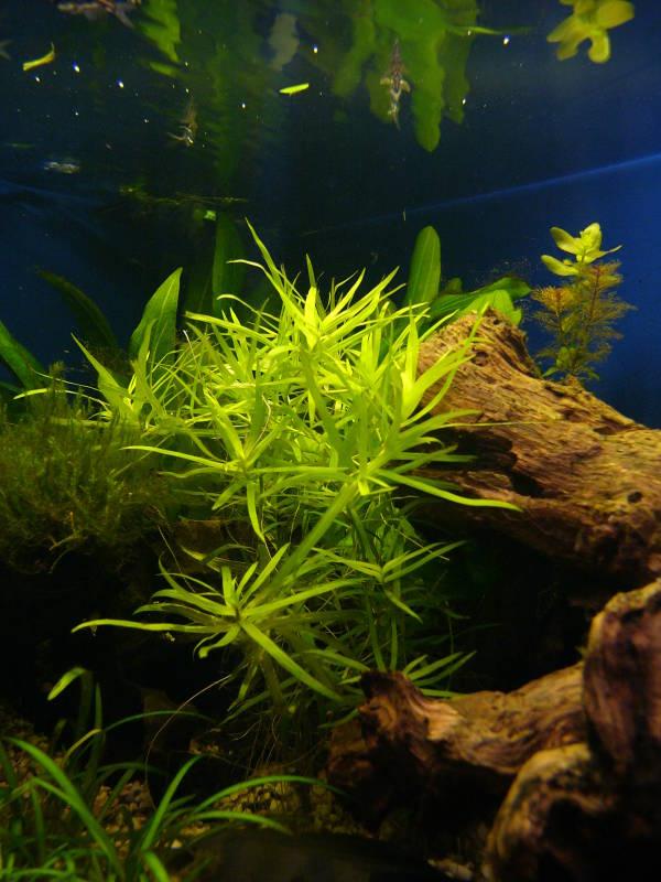 Fadenalgen u a hilfestellung danke aquarium forum for Fadenalgen entfernen