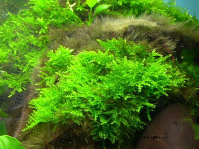 pflanzen javamoos singapur moos vesicularia dubyana. Black Bedroom Furniture Sets. Home Design Ideas
