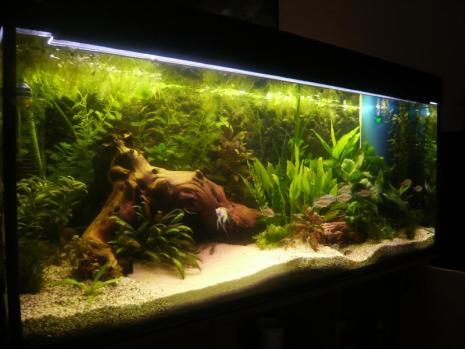 Community mein aquarium for Skalar aquarium